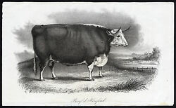 Antique Print-hereford Bull-cow-cattle-journal Des Haras-1850