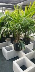 Majesty Palm Tree Live Ravenea Plant Grown In 10 Pot But Shipped Bare Rooted