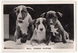Bull Terrier Puppies Dog Canine Pet Animal 1930s Trade Ad Card