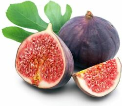 Easy To Grow Hardy Live Chicago Edible Fig Plant In 2.5 Pot