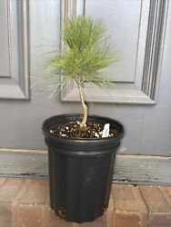 Pinus Strobus Andlsquohorsfordandrsquo White Pine Tree 2 Year+ It Has Been Up-potted.