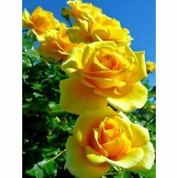 Yellow Roses Flower Diamond Painting Lovely House Embroidery Portrait Decoration
