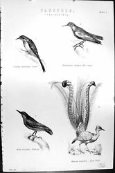 Old Passeres Creeper Wall Birds Nuthatch Lyre Europaea Mackenzie C188 Victorian