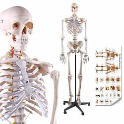 Human Skeleton Model Medical Whole Anatomical Life Size 70.8 In W/ Rolling Stand
