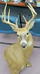 Shoulder Mount 11 Point White Tail Deer Buck Taxidermy Wall Mount Pre-owned