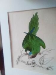 Old Vintage Antique 1745 George Edwards Hand Colored Parrot Print Engraving And03977