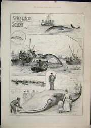 Original Old Antique Print 1888 Whaling Solent Boats Men Spears 19th