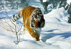Terry Isaac Tyger Tyger Siberian Tiger Signed Limited Edition Art Print