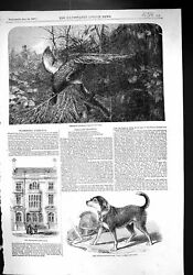 Old 1857 Pheasant Shooting Fire-escape-manand039s Dog Bill Warminster Athe Victorian