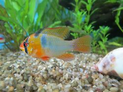 6 German Blue Ram Cichlid Juvenile 1.25 inch Bred in USA Free Shipping