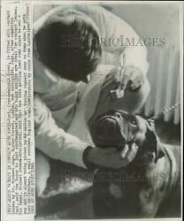 1966 Press Photo Dr. Michael Jags Fits Boxer Dog With Contact Lenses In London