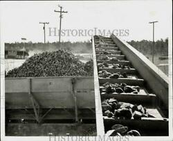 1965 Press Photo Potato Industry In South Dade Loads Potatoes With Conveyor Belt