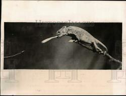 1923 Press Photo Chameleon on a branch catches prey with its tongue pix34095
