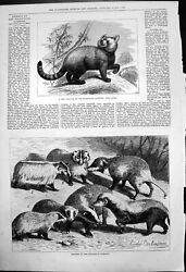 Antique Print New Arrival Zoological Gardens Panda Badgers L Beckmann 1876 19th
