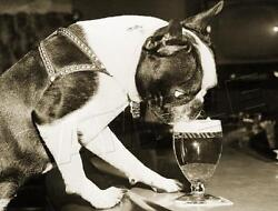 BOSTON TERRIER DRINKING BEER VINTAGE BAR 1959 REPRO DOG PHOTO *CANVAS* ART PRINT