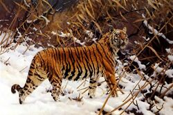 Siberian Tiger In A Winter Landscape Animal Painting By Hugo Ungewitter Repro