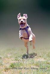 American Pit Bull Terrier February Notebook American Pit Bull Terrier Record Lo