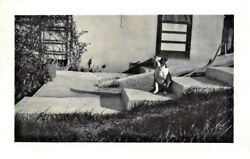 1920s Sturdy Boston Terrier Sits Alone on the Steps~Vintage Dog Photograph