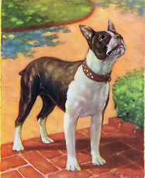 Boston Terrier on Brick Path Looking Up - A O Scott - 1941 vintage print