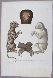 Georg Knorr 1760and039s Natural History Hand Colored Engraving Leopard Sloth