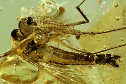 Extremely Rare Mosquito Culicidae Culex. Fossil Insect In Baltic Amber 6333