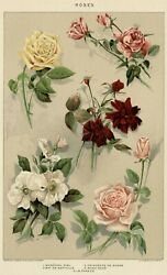Victorian Roses 1903 Authentic Dated True Stone Chromolithograph Botanical