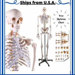 70in Human Skeleton Life Size Model Anatomical Medical Study With Rolling Stand