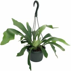 6.5 Staghorn Fern Hanging Plant Exotic House Plant