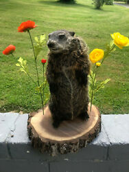 Standing Ground Hog / Woodchuck Full New Mount Taxidermy Log Cabin Hunting Lodge