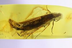 Extremely Rare Ship-timber Beetle Lymexylidae Fossil Insect Baltic Amber 10086