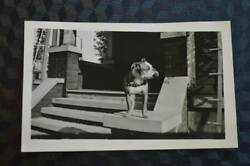 Vintage Photo Boston Terrier Dog Profile w Ball in Mouth 859001