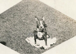BOSTON TERRIER Dog sitting outside looking up at the camera~cute* old Photo
