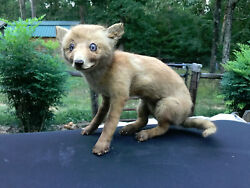 BEAUTIFUL VINTAGE RARE Red Fox Pup free-standing lifesize Taxidermy Mount