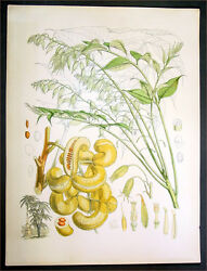 1855 Hooker And Fitch Antique Botanical Print - Chinese Mao Er Shi Or Goat Horn
