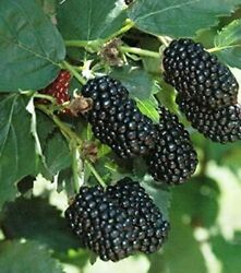 Blackberry Plants Prime-ark Freedom 2 Inch Rooted Thornless Plants In Pots