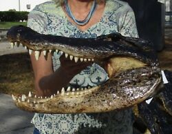 17.25quot; Real Alligator Head From a 11 Foot Louisiana Gator Taxidermy Swamp Wars