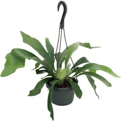 Staghorn Fern 6.5 Hanging Plant Exotic House Plant