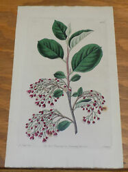 1829 Antique Color Floral Print///loose-clustered Cotoneaster, Or, Cotoneaster L