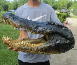 24.5 Real Alligator Head From A 13 Foot Louisiana Gator Taxidermy Swamp Wars