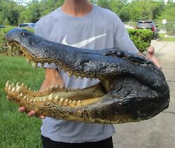 24.5quot; Real Alligator Head From a 13 Foot Louisiana Gator Taxidermy Swamp Wars