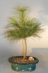 Pine Bonsai Tree Eastern White Evergreen Outdoor 6 Years Old 21tall