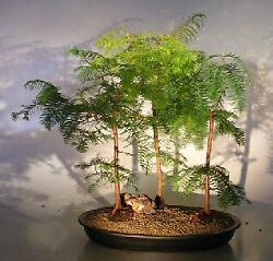 Relic Dawn Redwood Bonsai 3 Tree Forest Group Large 6 Years Old 22 Tall
