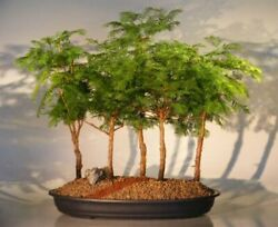 Redwood Bonsai 5 Tree Forest Group 17 Black Oval Container 8 Years Old 22 Tall