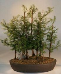 Dawn Redwood Bonsai 9 Tree Forest Group Ornamental Outdoor 8 Years Old 23 Tall