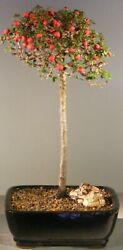 Cotoneaster Bonsai Tree Flowering And Fruiting Evergreen 7 Years Old 14 Tall