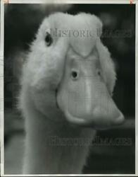 1962 Press Photo Itand039s Murder Quacked A Duck One Of 7000000 Sent To Market