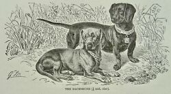 C1893 Antique Dog Print The Dachshound Royal Natural History By Lydekker