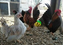 8 +serama Chicken Hatching Eggs From Chickweed Farms Micro To A-b Sizes Npip