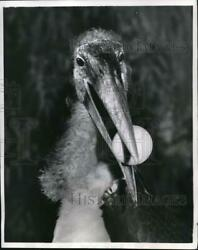 1957 Press Photo Stork catching a ball is the first member of the Beak Leagues