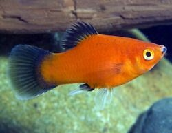 6 Red Wag Platy Live Tropical Freshwater Aquarium Fish Tank Male And Female